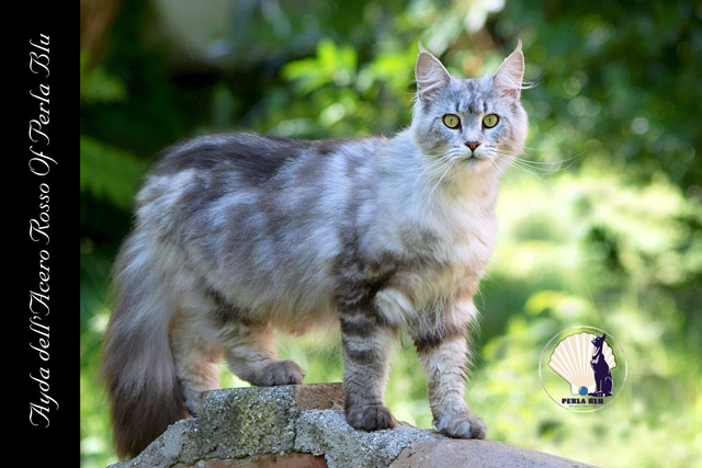 maine coon silver toritie