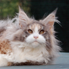 Foto maine coon